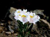 Imagen de una flor blanca tipica del fenómeno del Desierto Florido en el norte de Chile