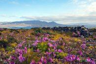 Imagen del Desierto Florido en el norte de Chile