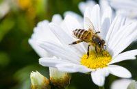 Imagen de una abeja  bebiendo polen